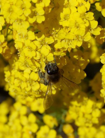 abeille commune